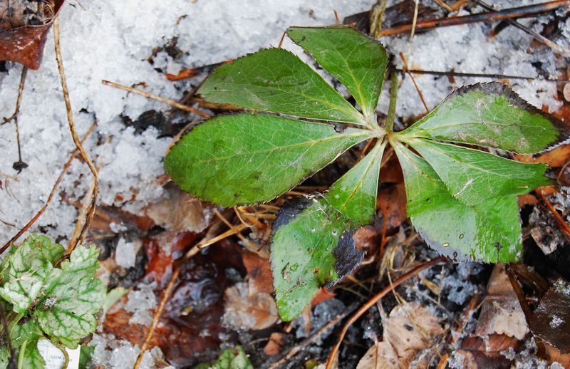 Hellebore leaf