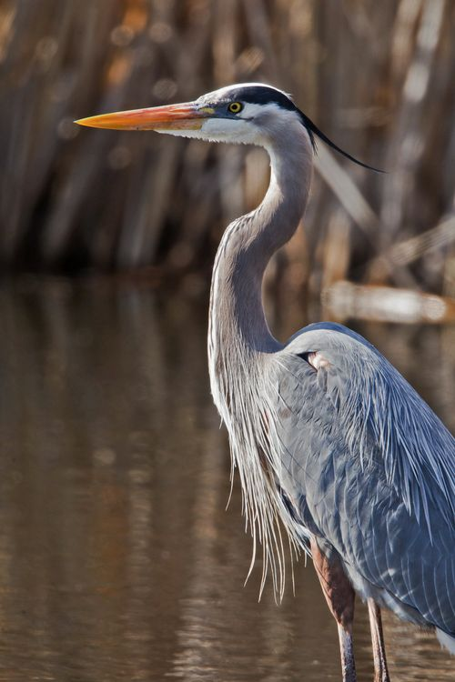 Great-blue-heron_rebecca-field2