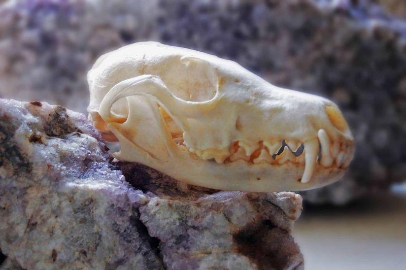Fox skull 2